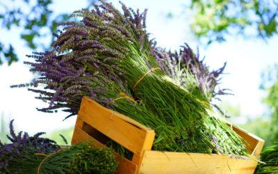 Französischer Lavendel – Duft der Provence