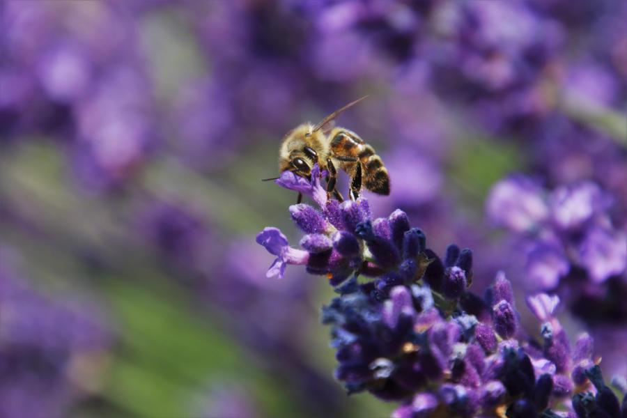 Lavendel Imkerei